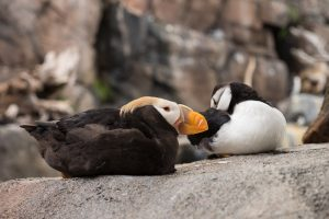 Puffins, ready to be kissed