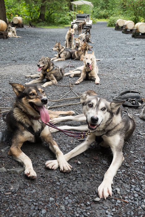 The Seavey Dogs: Iditarod Champions and Trail Runners Extraordinaire