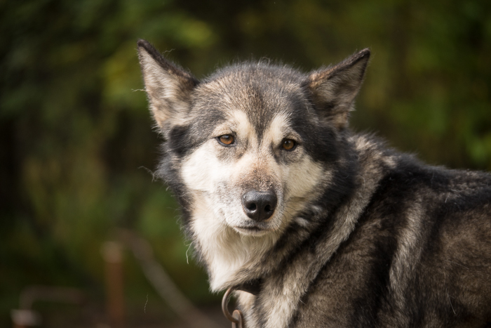 The Magnificent Sled Dogs of Denali